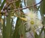 Eukalüpt. Eucalyptus eeterlik õli 10 ml