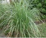 Sidrunhein. Lemongrass eeterlik õli 10 ml