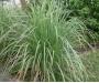 Sidrunhein. Lemongrass eeterlik õli