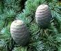Seedripuu. Cedarwood eeterlik õli 10 ml