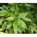 Kaneel. Cinnamon Leaf eeterlik õli