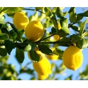 Sidrunikoor. Lemon Peel eeterlik õli