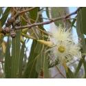 Eukalüpt. Blue Eucalyptus eeterlik õli