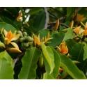 Magnoolia. Champaca eeterlik õli
