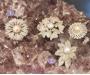 Pärlid, tsirkoonid pross Sri Lankalt